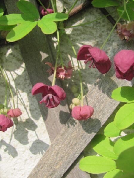 akebie kvet