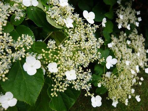 hortenzie kvet