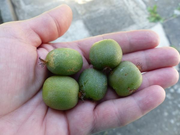 kiwi arguta plod