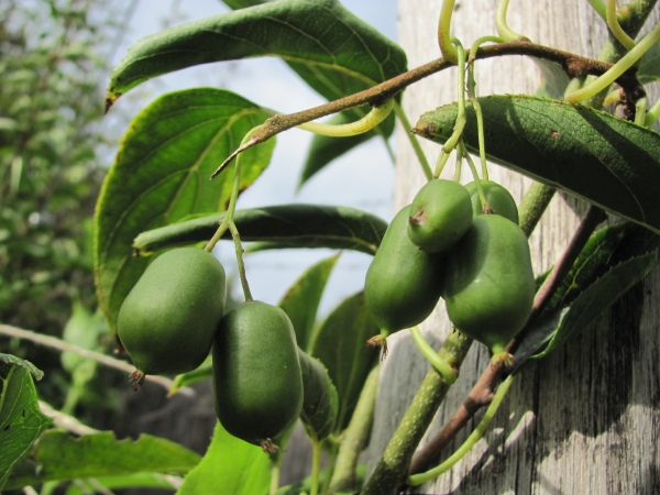 kiwi kolomikta plod