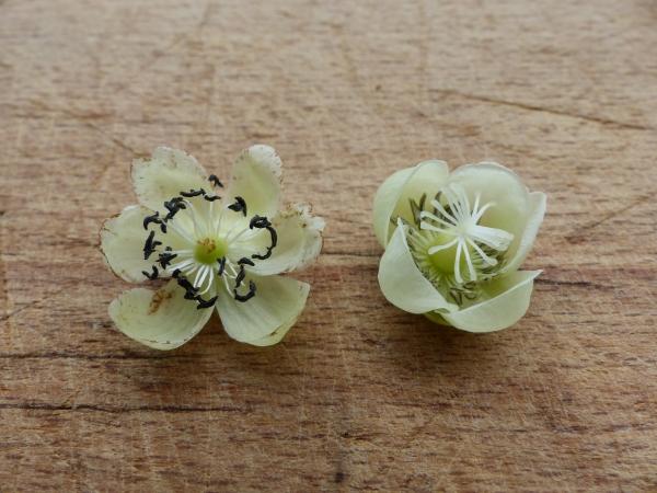 kiwi kvet