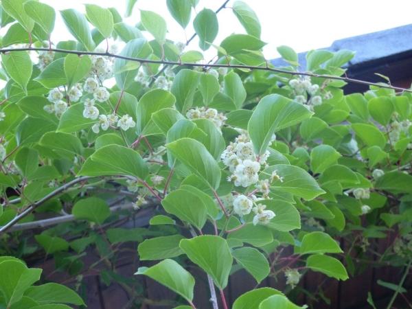 kiwi rostlina