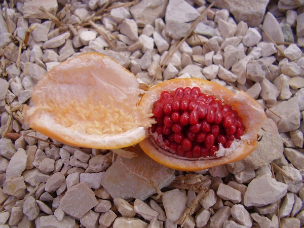 mucenka plod uvnitr